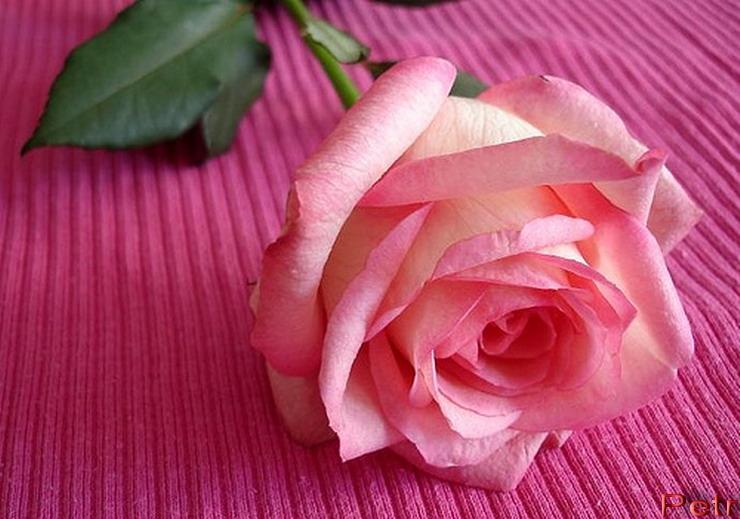 pink_rose02.jpg